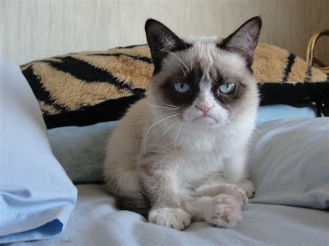 valentines grumpy cat grumpy cat pictures breed personality history