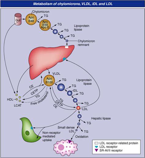 lipid metabolism diagram lipids 10 17 laboratory science 301 with