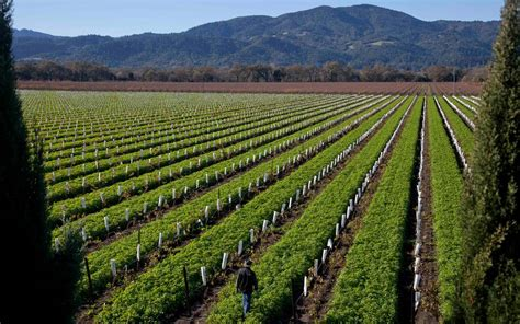 Legal marijuana in California could transform wine country