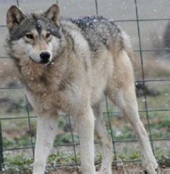 timberwolf puppies for sale timber wolf puppies www pixshark images galleries with a bite