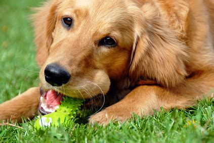 golden retriever behavior issues golden retriever temperament