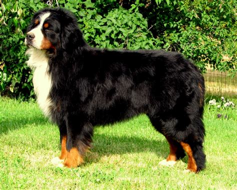 how to a bernese mountain pin bernese mountain dogs on