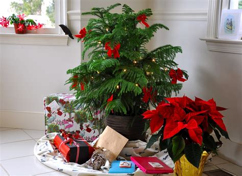 live christmas trees as decoration this holiday season may