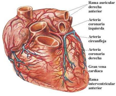 imagenes reales de organos del cuerpo humano anatomia humana