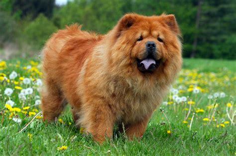 chow chow alimentazione chow chow carattere e informazioni sulla razza canina cinese