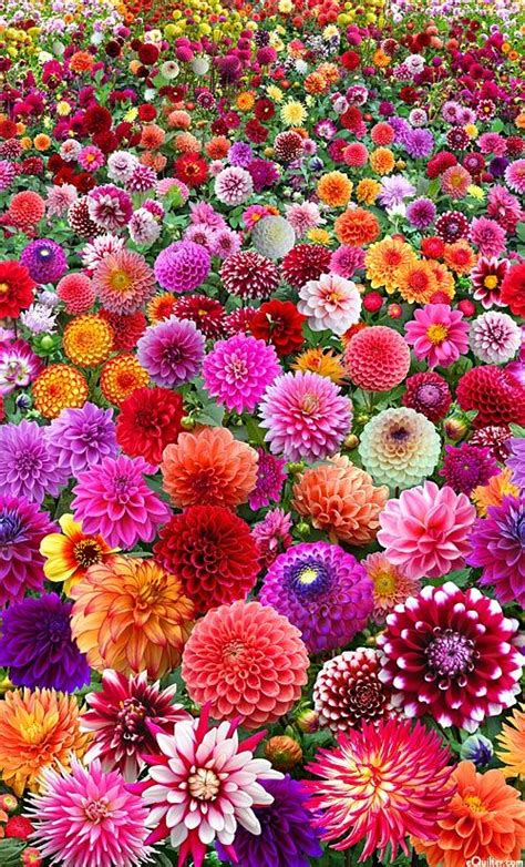 proudly dahlia start an easy flower to decor your