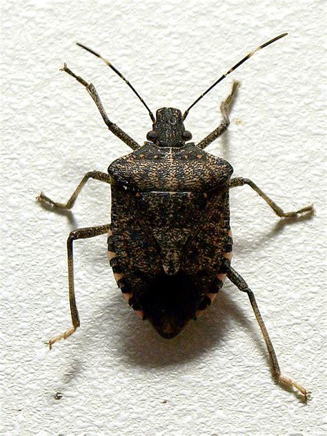 bed bugs wiki file brown marmorated stink bug jpg wikipedia
