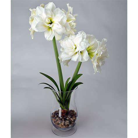 amaryllis alfresco white flower farm