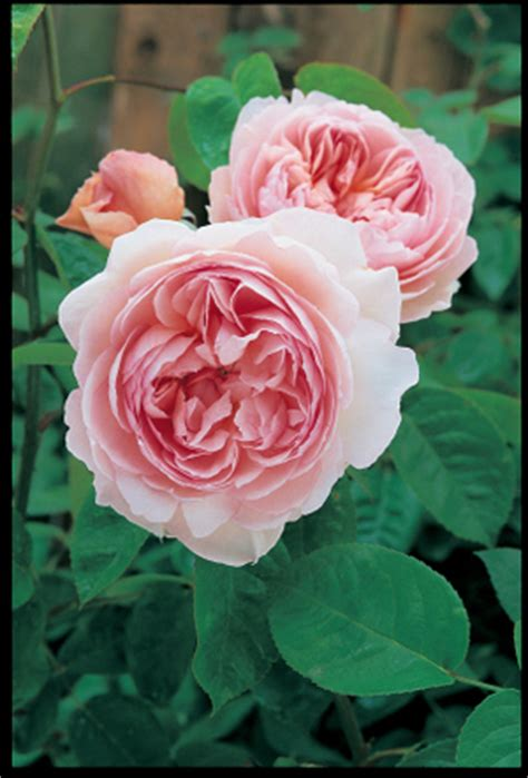 david austin roses ordering your bare root roses