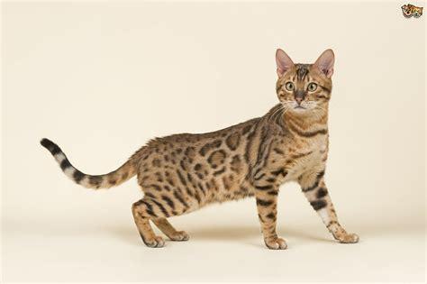 breeds large 12 large cat breeds that make lovely pets pets4homes