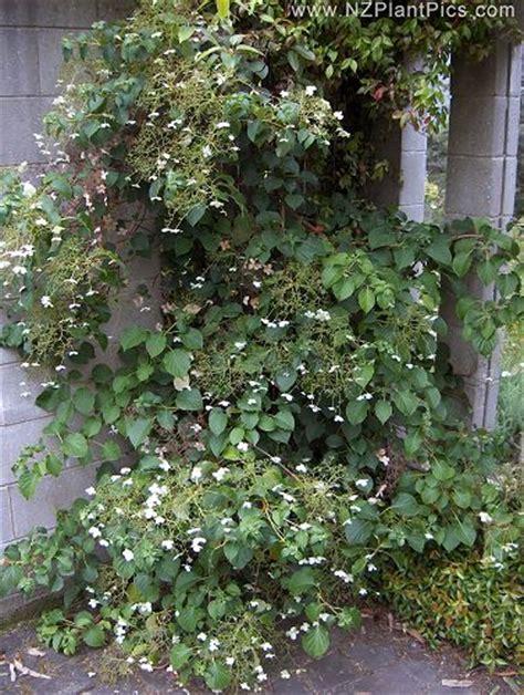 winter climbing plants climbing plants image library nz plant pics stock