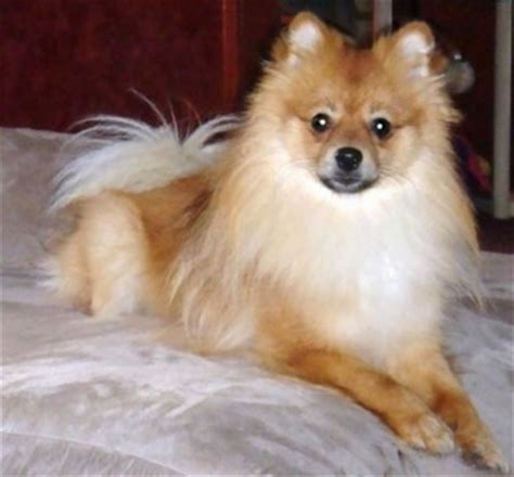 how to raise a pomeranian puppy pomeranian breed pictures 4