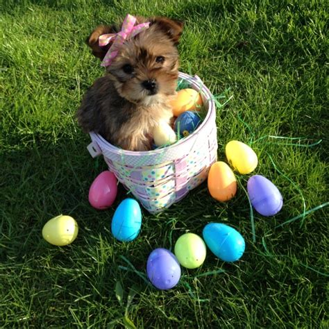 yorkie photoshoot 29 best images about easter on manzanita branches kitchen chairs and