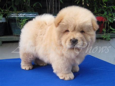 puppies that don t grow dogs that dont grow big breeds picture