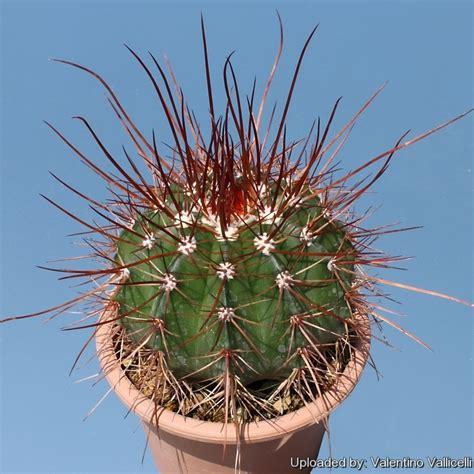 Melocactus Ernestii melocactus oreas f erythracanthus