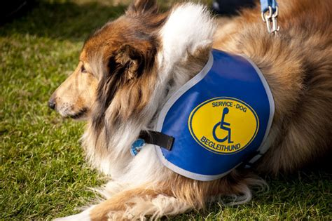 learn how to service dogs autism service tags napa s daily growl
