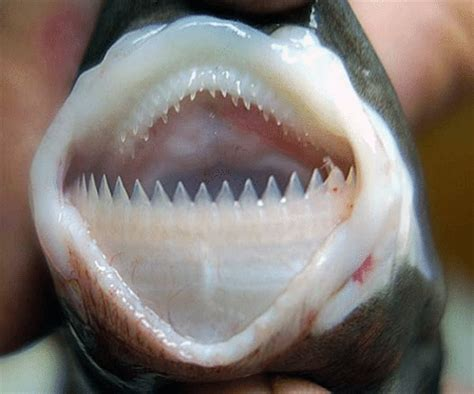 cookiecutter shark l remarkable our breathing planet