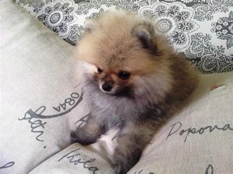 how to take care of a teacup pomeranian teacup pomeranian puppy tiny puppy gorgeous coat breeds picture