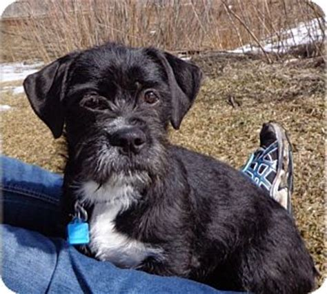 scottish terrier shih tzu mix pet not found