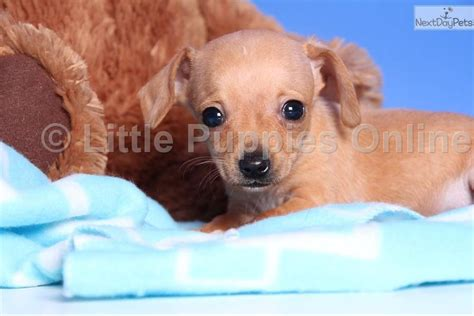 chiweenie puppies for sale in ohio spike chiweenie dachshund mini puppy for sale near columbus ohio