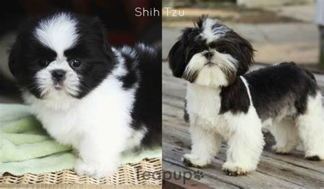 havanese vs shih tzu available puppies