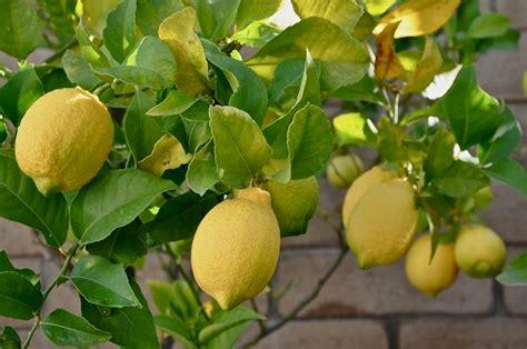 malattie limoni in vaso limone citrus limon agrumi caratteristiche limone