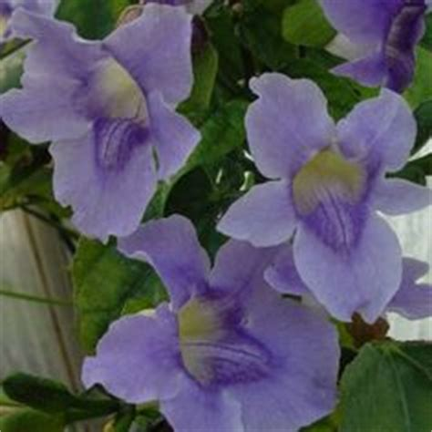 Tanaman Thunbergia Biru Blue Clock Vine 1000 images about gardening in zone 8b 9a on blue flowers and