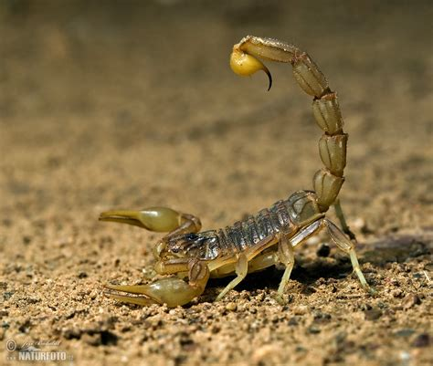 scorpion photos scorpion images nature wildlife pictures