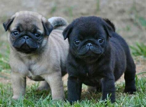 buy pug puppies best 25 pug bread ideas on
