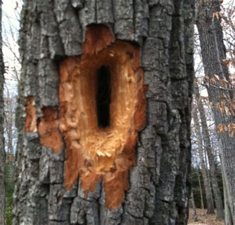 pileated woodpecker hole in tree walter reeves the
