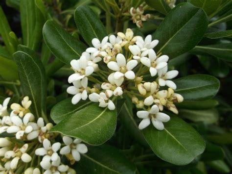 arbusti sempreverdi da fiore pittosporum tobira pitosforo o pitosporo arbusti