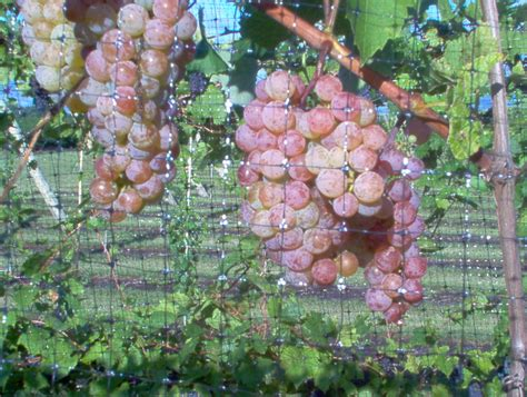 table grape varieties