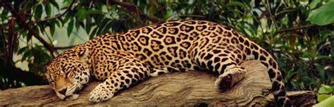 imagenes del multicitado jaguar im 225 genes del jaguar felinos informaci 243 n y caracter 237 sticas