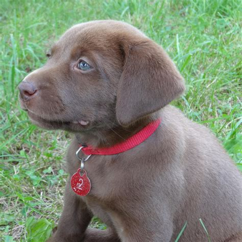 brown lab puppies for sale black chocolate lab puppies for sale
