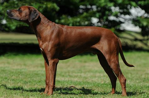 rhodesian ridgeback colors 1000 images about colors on
