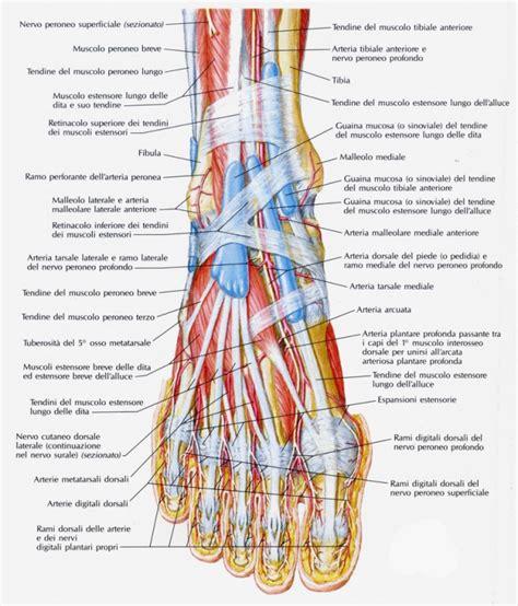 muscoli sedere muscoli plantari laterali tfw strength and conditioning