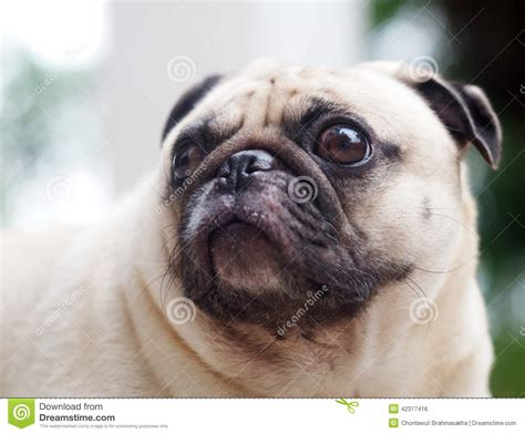 pug side pug stock photo image 42377416