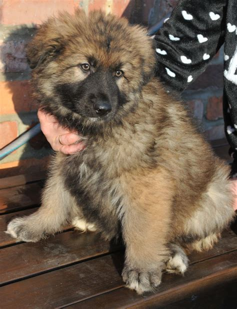 haired german shepherd puppies for sale haired german shepherd pups for sale york pets4homes