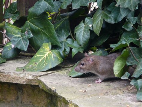 urban garden guide rats in garden urban garden guide