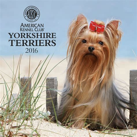 yorkie club of america breeders terrier yorkie calendars