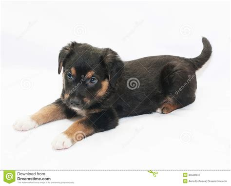 small black and brown small black puppy with brown spots is prepared to play royalty free stock photography