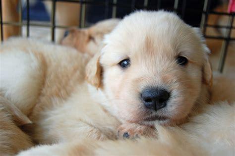 golden retriever blind guide puppy puppies special sweet golden blind pup golden retriever