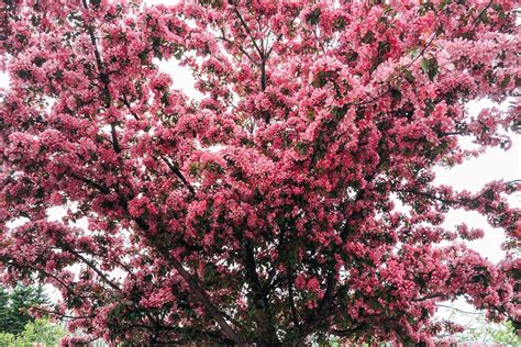 cherry blossom frequently asked questions