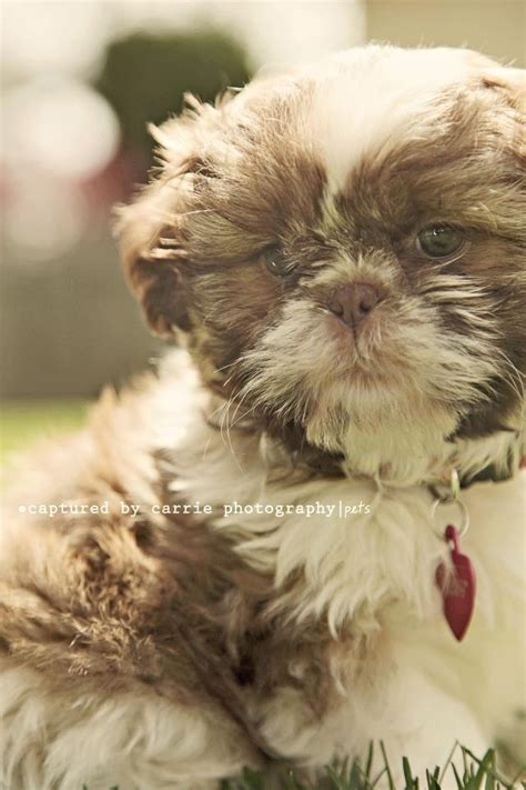 spell shih tzu how do you spell quot adorable quot shih tzu