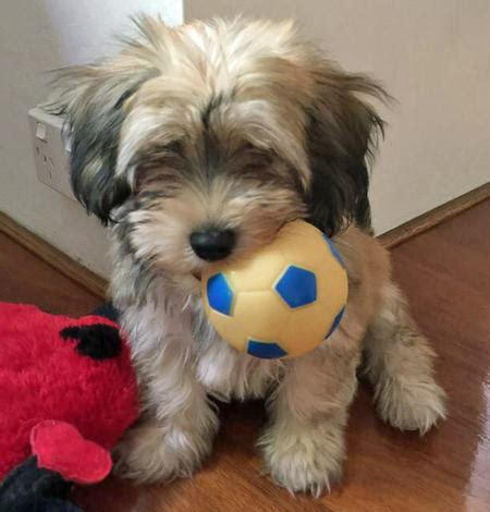 cuban havanese puppies miso the havanese puppies daily puppy