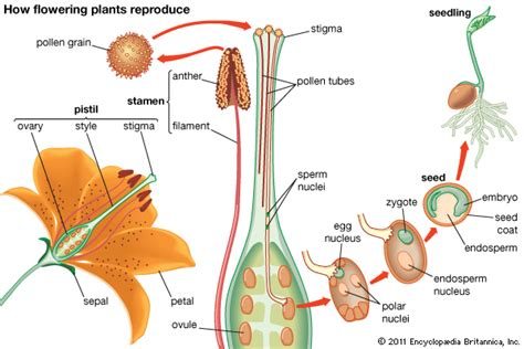flowchart of pollination fertilization and seed development how flowering plants reproduce encyclopedia