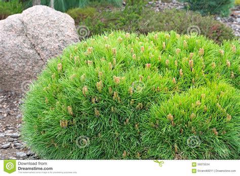 pino nano da giardino