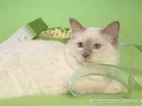 wallpaper persian cat persian cat wallpapers pets cute and docile