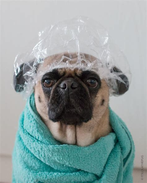 haired pug pictures 214 best images about pugs on brindle pug pets and birthday pug