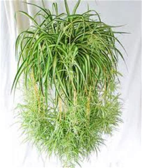 Impressionnant Plantes D Interieur Retombantes #2: 945337chlorophytum.jpg
